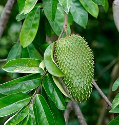 Graviola bio de la forêt amazonienne
