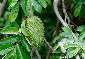 plante tropicale contre le cancer