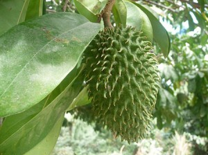 Corossol bio fruit du corossolier