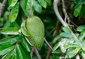 L'arbre de corossol et son fruit « Le Corossol» remède contre le cancer !